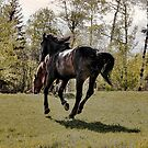 Percheron Thoroughbred Horse on the run. by Val  Brackenridge