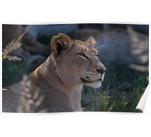 Beautiful Lioness Poster
