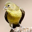 lesser goldfinch by Dennis Cheeseman