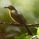 Yellow breasted Chat by Dennis Cheeseman