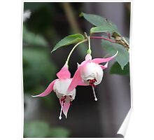 Pink & White Fuschia Flower Poster