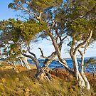 Trees at Broke Inlet by pennyswork