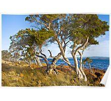 Trees at Broke Inlet Poster