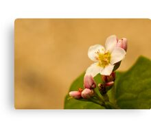 small white flower with pink buds Canvas Print