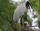 Wood Stork and baby by Dennis Cheeseman