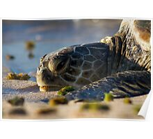 Resting Female Green Turtle Poster