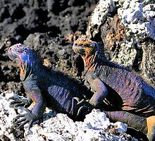 Galapagos Marine Iguana Buddies by Al Bourassa