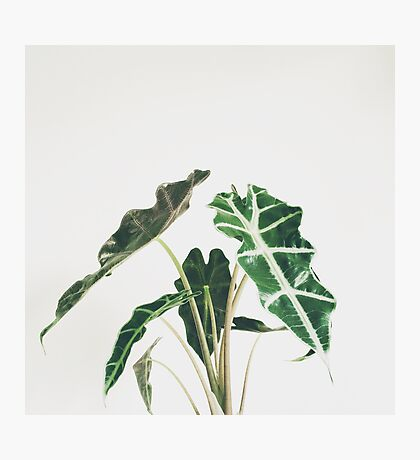 Elephant Ear Photographic Print
