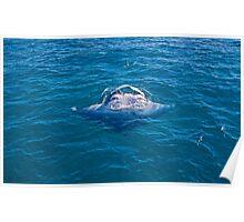 Manta Ray feeding Poster