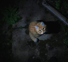 Ginger cat on garden path at night by turniptowers