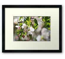 White blossoms on an ornamental tree Framed Print