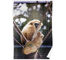 Gibbon On A Swing Poster