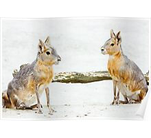 Mara Rodent Animals Poster