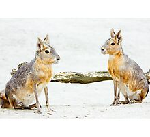 Mara Rodent Animals Photographic Print