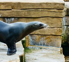 Sea Lion Side View by PatiDesigns
