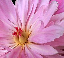 Pink Peony Flower by Edward Fielding