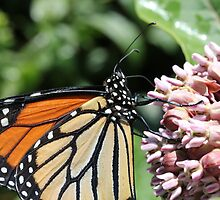 Monarch Butterfly on Milkweed by Sheryl Hopkins
