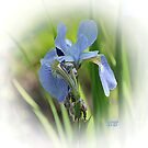 ~ Sweet Iris ~ by Brenda Boisvert