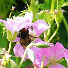 Busy Bee in Pink Wild Geraniums. Dorset UK by lynn carter