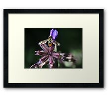 Hover fly with rainbow wings Framed Print