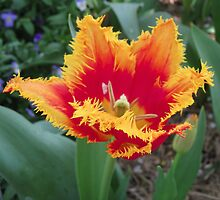 Tulip Time in Australia 2 Photograph by Heatherian by Heatherian