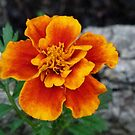 Pretty Marigold by MaeBelle