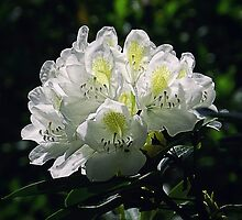 Great White Rhododendron by Sharon Woerner