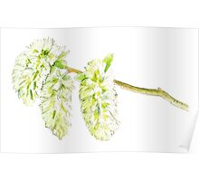 Green willow catkin watercolor painting Poster
