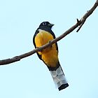 Male Black-Headed Trogon by hummingbirds