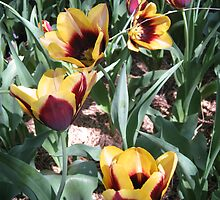 Tulip Time in Australia 14 Photograph by Heatherian by Heatherian