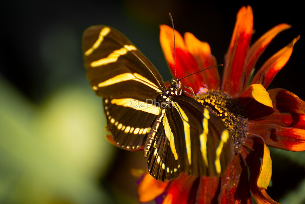 Zebra on the Flower by OzPhoto