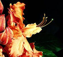 Orange Blaze Azalea by Sharon Woerner