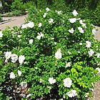 White Rose Bush by Shulie1