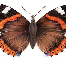Red Admiral Butterfly by Tamara Clark