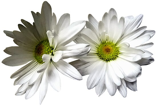 Two White Frilly Daisies by Susan Savad
