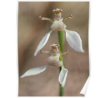 Crinkle-leafed Bunny Orchid Poster