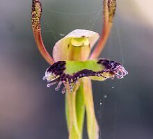 Hare Orchid by Paul Amyes