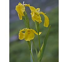 Yellow Flag Iris - Donegal Photographic Print