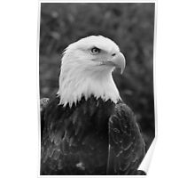 Head of a Male American Bald Eagle Poster