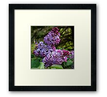 Purple Lilac Blossoms Framed Print