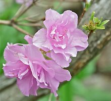 Pink Azalea 5 by Carolyn Clark