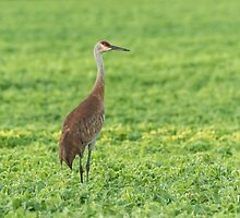 Sandhill Crane 2016-3 by Thomas Young