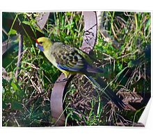 GREEN ROSELLA ~ Green Rosella on Rustic Implement by David Irwin Poster