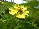 Sulpher Cinquefoil by Ron Russell