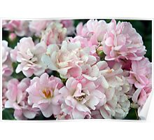 Beautiful small light pink flowers in the garden. Poster