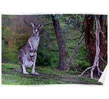 Kangaroo with Joey in her pouch - closeup Poster