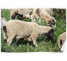 white lambs Poster