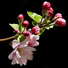 Apple Blossom by Marylou Badeaux