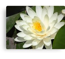 Oil Painting of White Blossom against Leaves Canvas Print