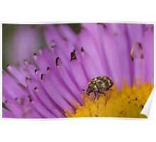 varied carpet beetle eating nectar on an aster Poster